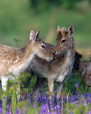 Fallow_Deer_in_Springtime